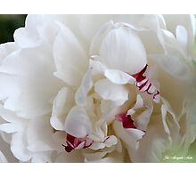 PEONY lactiflora Photographic Print