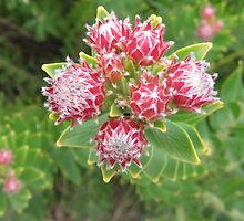 Leucospenum bolusii (Gordons Bay Pincushion) by betty75