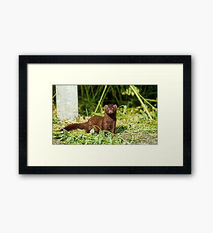An American Mink Framed Print