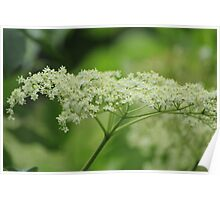 Elderflowers Poster