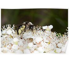 Ashy Mining Bee on Pyracantha Poster