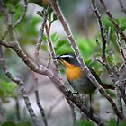 Cape Robin by Deborah Hall Barry