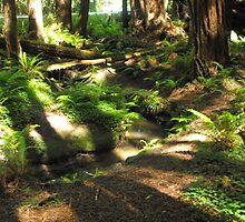 Redwood forest shadows and old logs by Carolynn Cumor