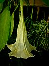 Angels Trumpet Hanging Blossom by MotherNature
