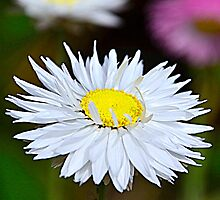 A Daisy  by Martina Fagan