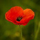 Poppy by Matt Sillence