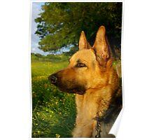 Blaze- (German Shepherd) Poster