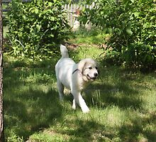 Happy Dance Great Pyrenees Style by goldnzrule