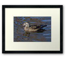 Wood duck hen swimming in lake Framed Print