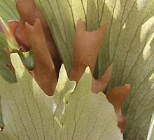 Staghorn Fern  by heatherfriedman