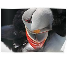 Preening Puffin Poster