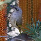 Brown Honeyeater by triciaoshea