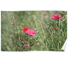 Wild poppies in the wind Poster