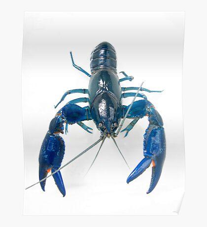 Australian Blue Yabby - Cherax destructor Poster