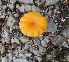Single Yellow Fungi, Cradle Mountain, Tasmania, Australia. by kaysharp