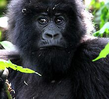 """What are you going to do to me? Juvenile Mountain Gorilla by Carole-Anne"
