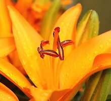 Orange Lilly by AmandaJanePhoto