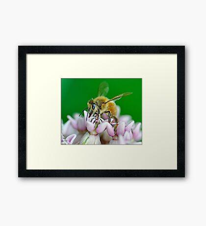 Honeybee Framed Print