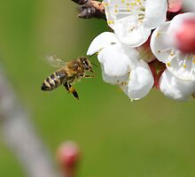 Honeybee approaching apricot blossoms by Michael Brewer