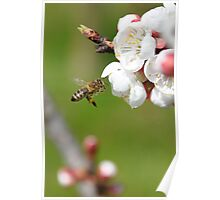 Honeybee approaching apricot blossoms Poster