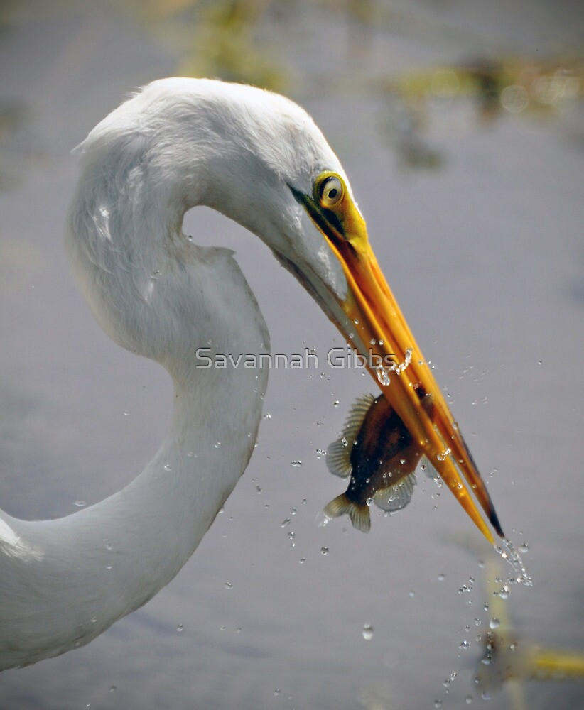 Great Egret with Perch by Savannah Gibbs