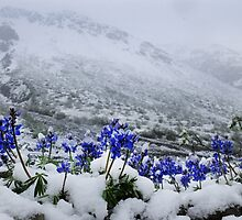 Snow Lupin by Marty Samis