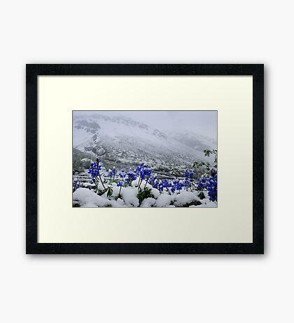Snow Lupin Framed Print