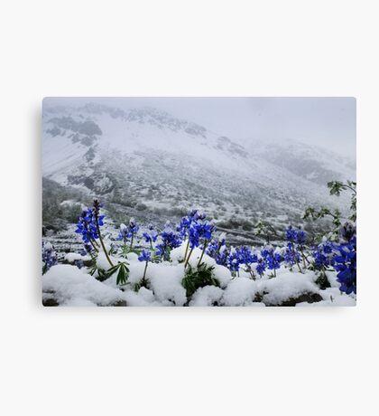 Snow Lupin Canvas Print