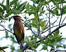 Cedar Waxwing  - Front view by goddarb