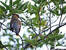 Cedar Waxwing - Back View by goddarb