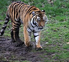 Amur Tiger by Tom Curtis