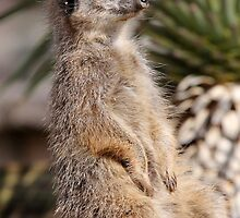 Meerkat by Tom Curtis