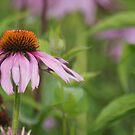 Echinacea purpurea by Lorelle Gromus