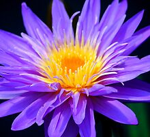 Waterlily Purple by Brent McMurry