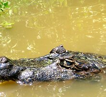 Aligator by Abby Lewtas