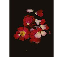 Rose Petals Photographic Print