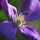 Clematis by Lorelle Gromus