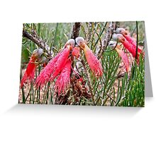 Silky leaf blood flower Greeting Card