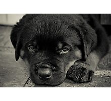 Rottweiler Puppy Photographic Print