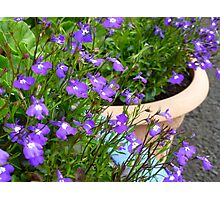 Potted Purple Photographic Print