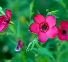 Scarlet Flax by JoLearyPhoto