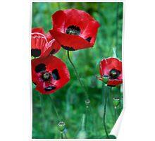 Ladybird Poppies Poster