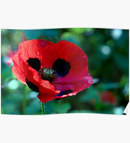 Poppy After the Rainfall Poster