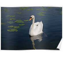 Swan on the Water Poster