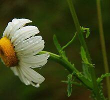 Rainy Day Daisy 2 by Tracy Friesen
