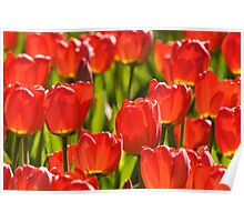 Backlit tulips. Poster