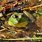 Smiling Bullfrog by Kathy Baccari