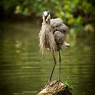 Fluffy the Great Blue Heron by Joe Jennelle