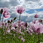 Poppy Field Pink by Happy Endings..... Cards & Prints
