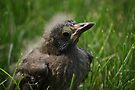 Great-tailed Grackle by Jean Martin
